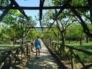 In the lemon groves of Sorrento, Italy