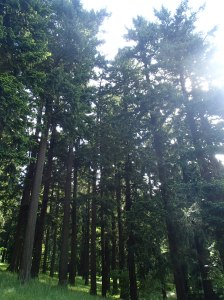The tall trees in Mt. Tabor park