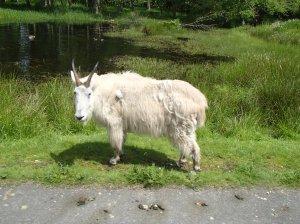 Beautifully white mountain goat