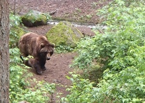 The bears were difficult to get perfect pictures of but are still amazing creatures to see (especially in a enclosure that is bigger than what a zoo would generally have)