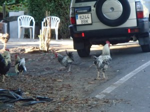 Why did the chicken cross the road??