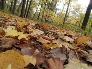 Fallen leaves cover the forest floor creating a bright pathway